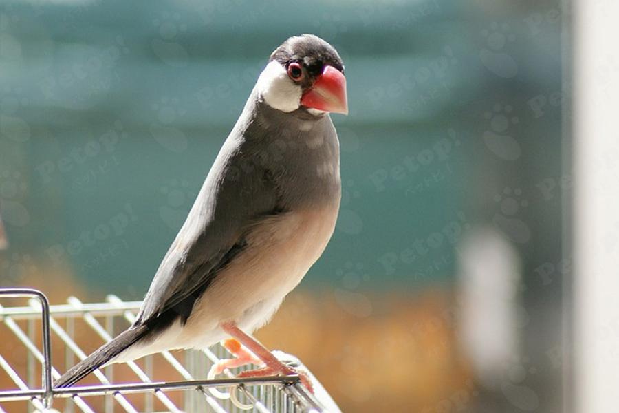 文鳥の外見の変化