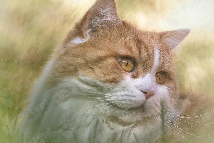 ブリティッシュロングヘアーの画像