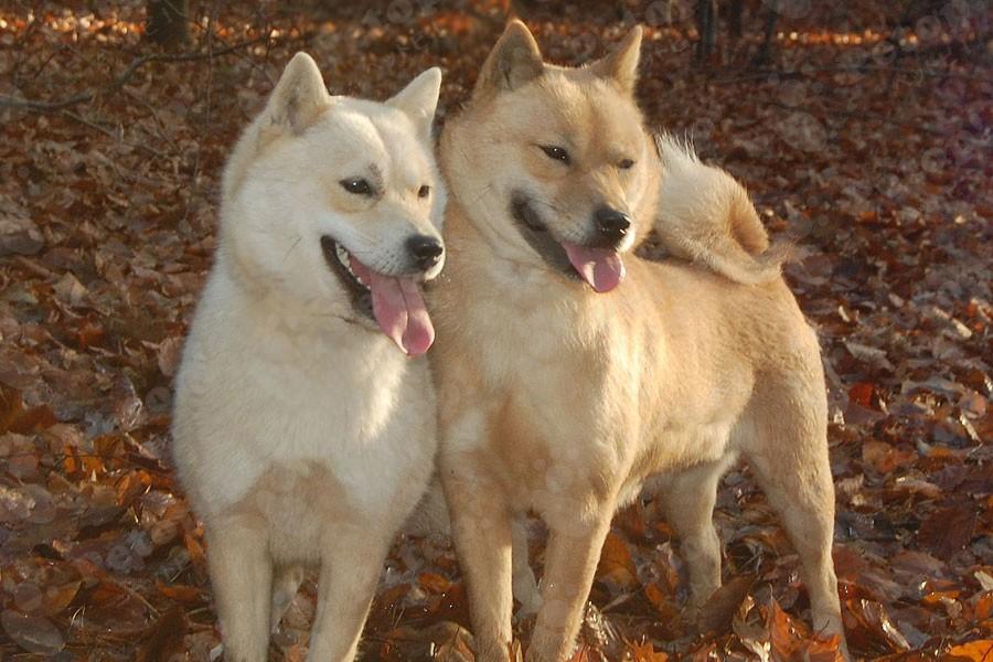 北海道犬の画像