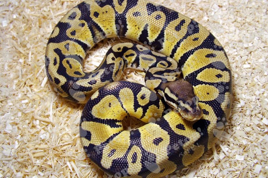 ボールパイソン(ボールニシキヘビ)の画像