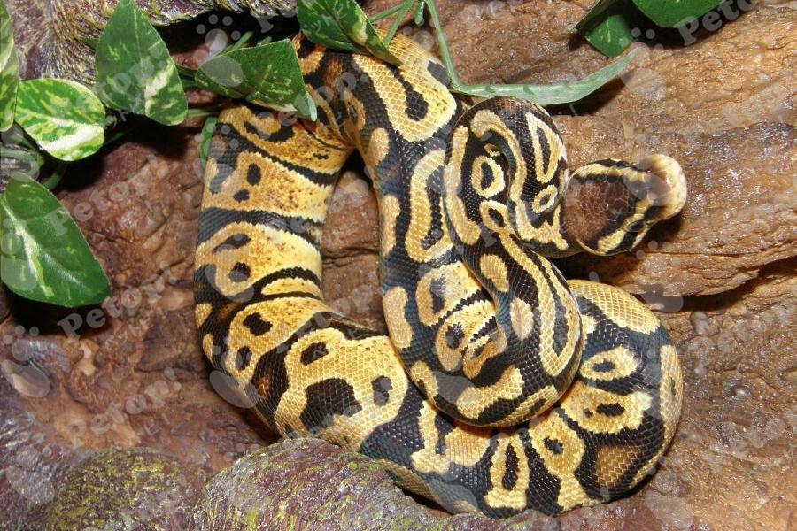 ボールパイソン(ボールニシキヘビ)の飼い方