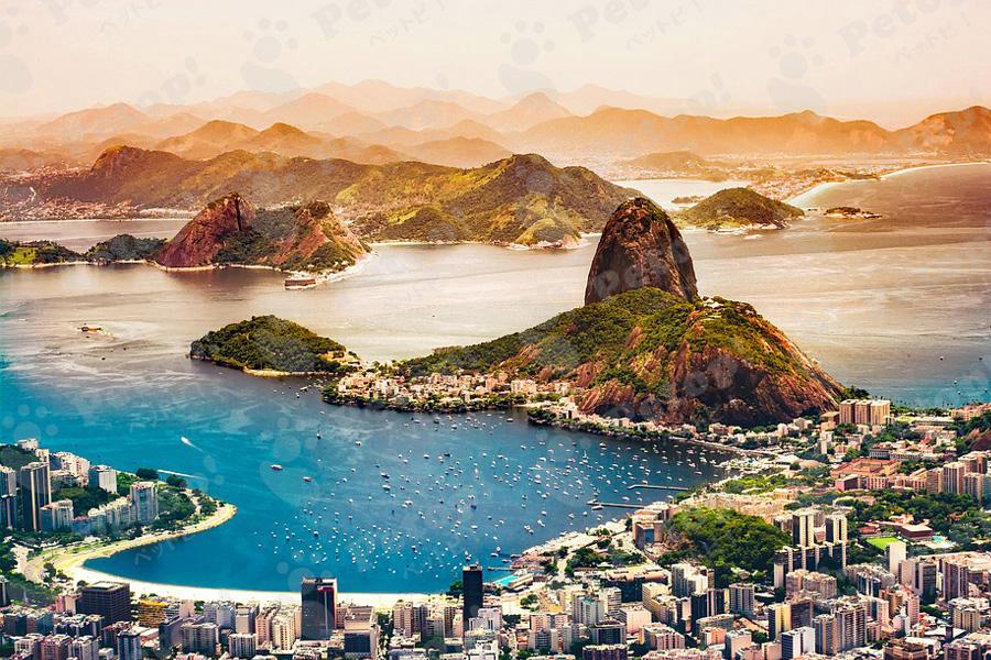 ブラジリアンショートヘアーの画像