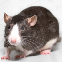 fansi-ratto-i