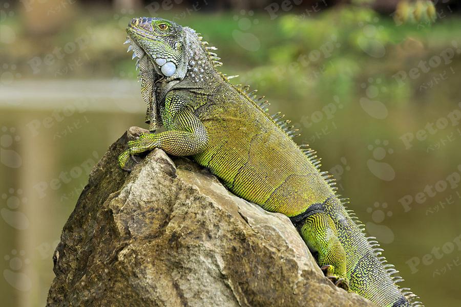 グリーンイグアナの外見の変化