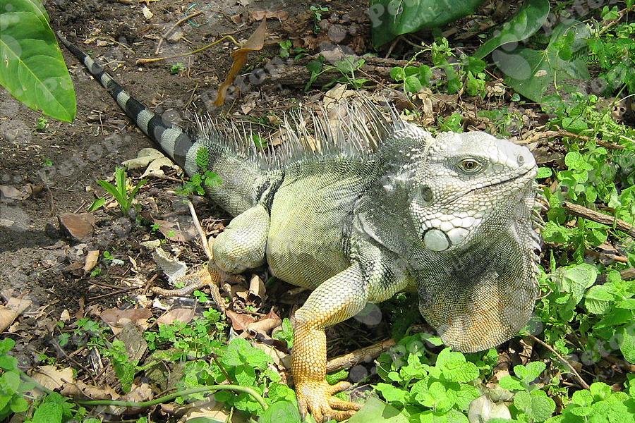グリーンイグアナの画像