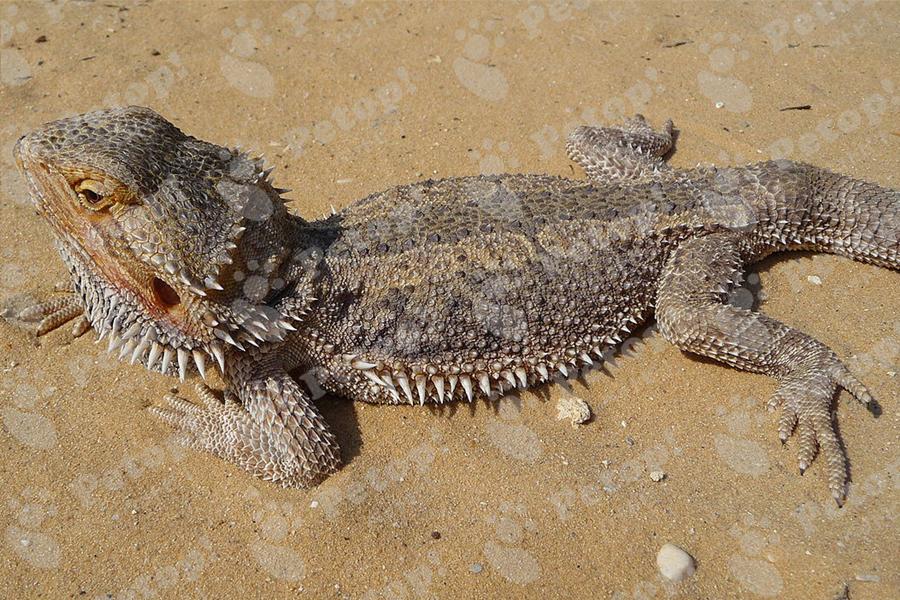 フトアゴヒゲトカゲの外見の変化