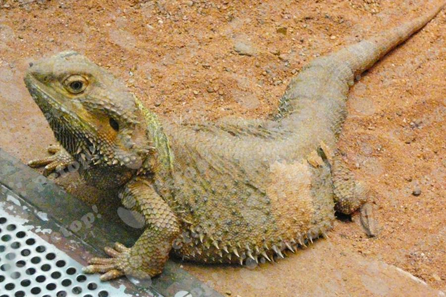 フトアゴヒゲトカゲの画像