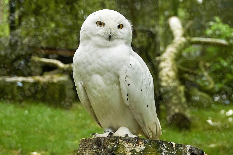 シロフクロウの外見の変化