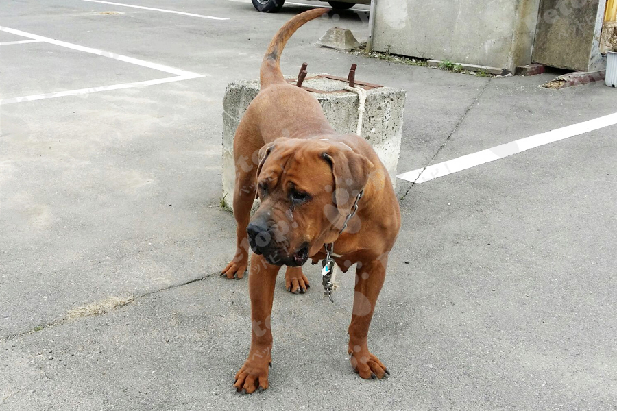 土佐闘犬の画像