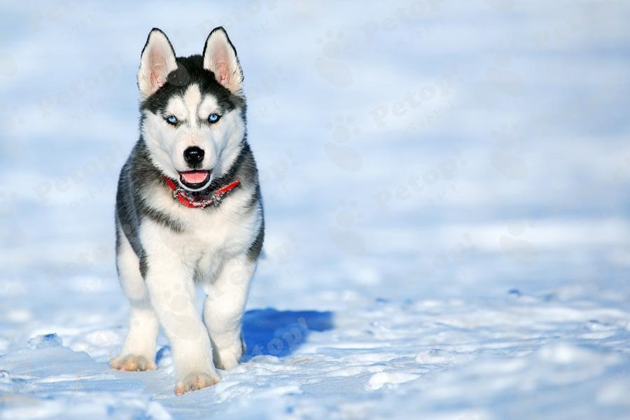 雪の中を歩く犬