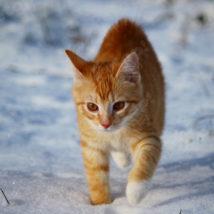 雪道を歩く猫