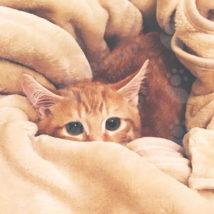 毛布にくるまれる猫