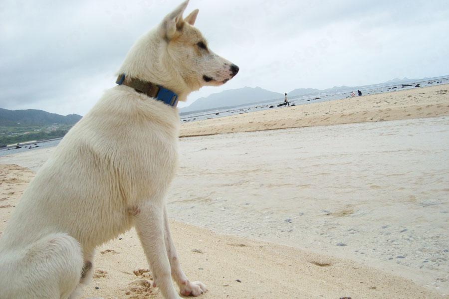紀州犬の画像