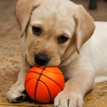 犬 おもちゃで遊ぶプレイバウ