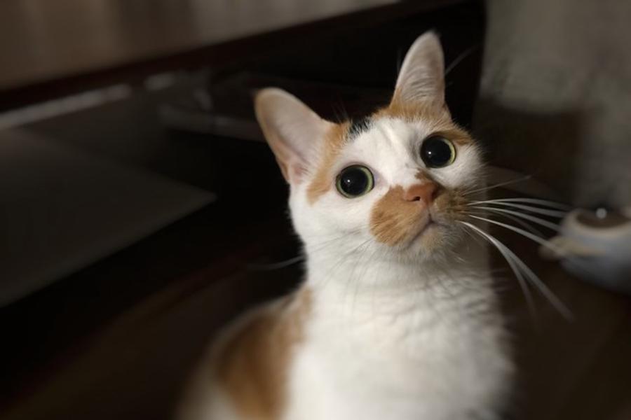 なにかを見つめる猫ちゃん
