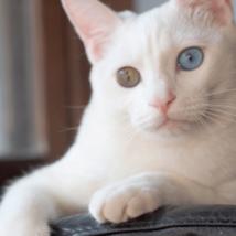 ネコ オッドアイ目の色