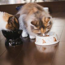 キャットフードを食べる猫たち
