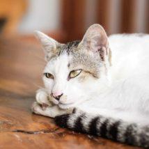 デスクの上でくつろぐ猫