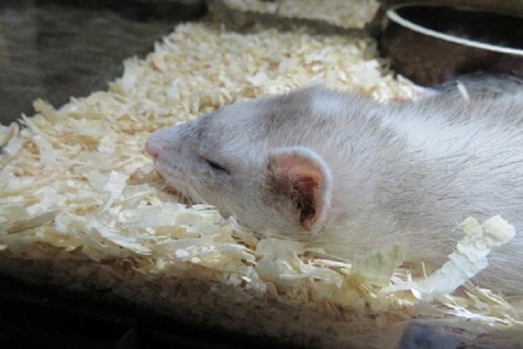寝るハツカネズミ