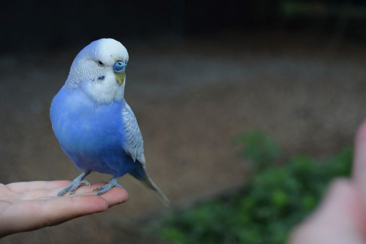 青いインコ