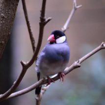 木に止まる文鳥