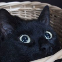じっと見る黒猫