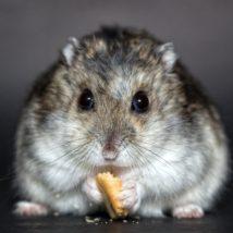 食事中のハムスター