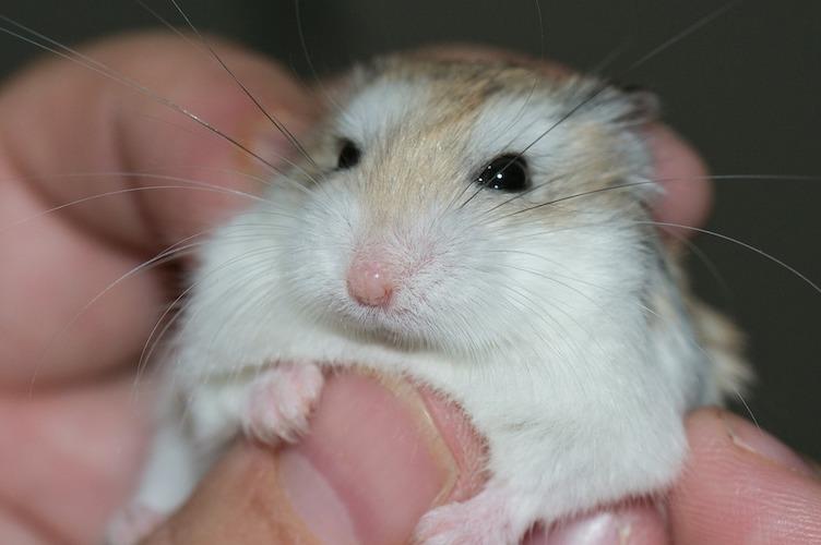 抱っこされているハムスター