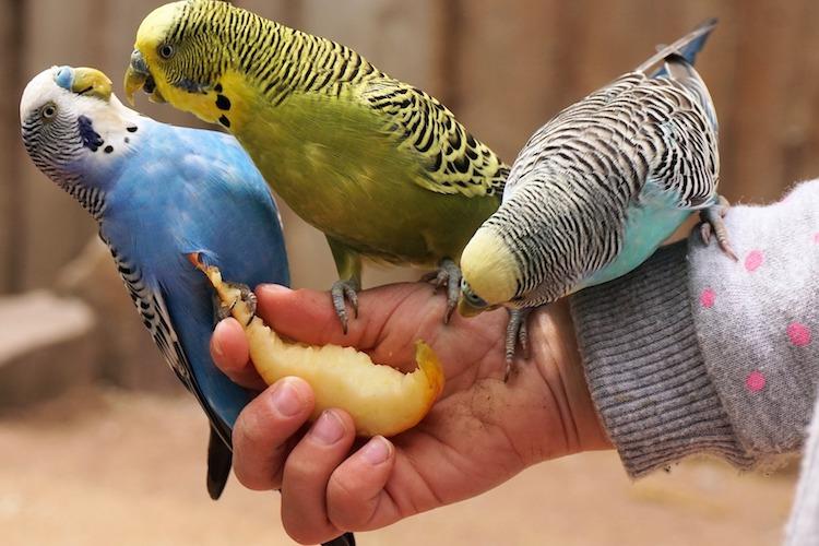 果物を食べるインコ