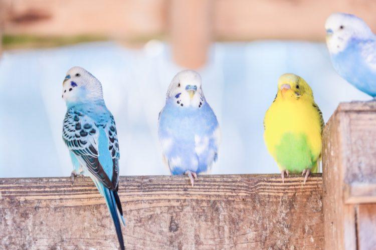 4羽のインコ