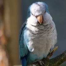 木に止まる青いインコ