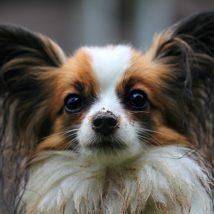 犬の耳垢について