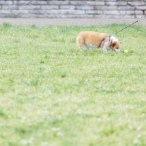 リードがついた犬