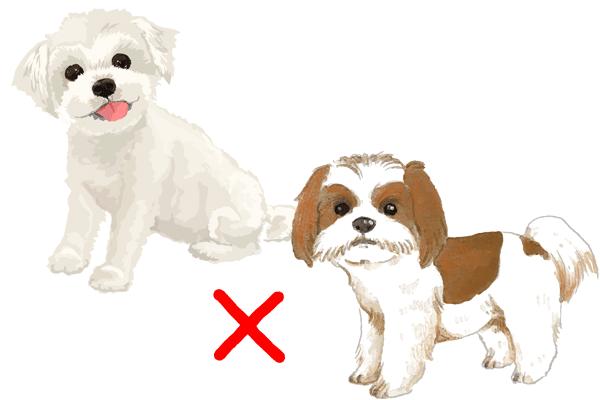 マルシーズーミックス犬