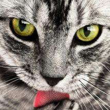 舌を出す猫