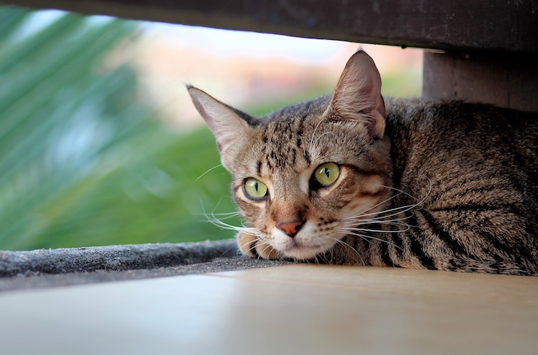 キジトラの猫