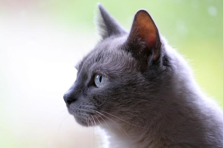 外をみる白猫