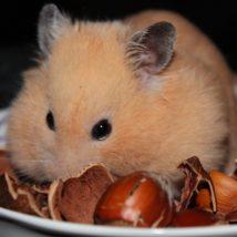 ナッツを食べているハムスター