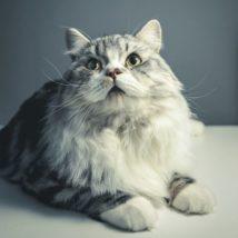 座るペルシャ猫