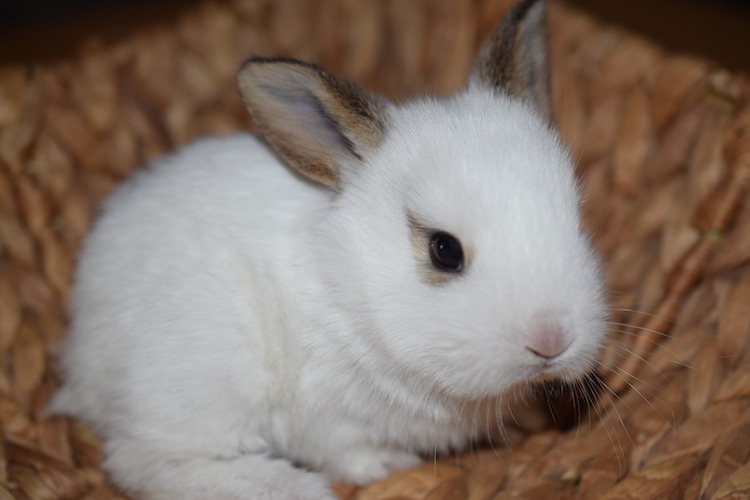 白い子ウサギ