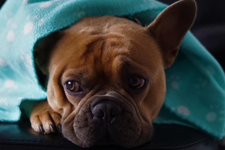 毛布をかける犬