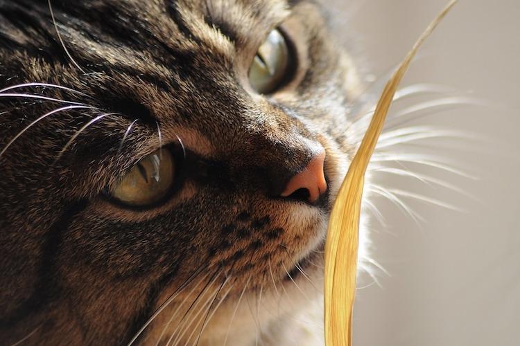 においを嗅ぐ猫