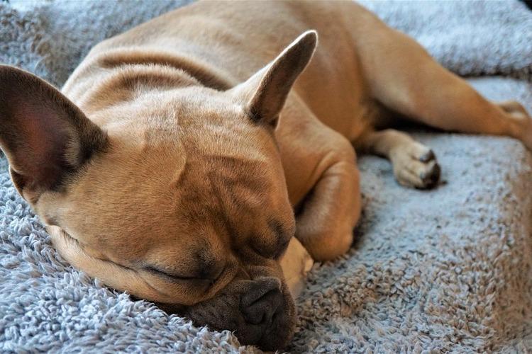 ベッドの上で眠る犬