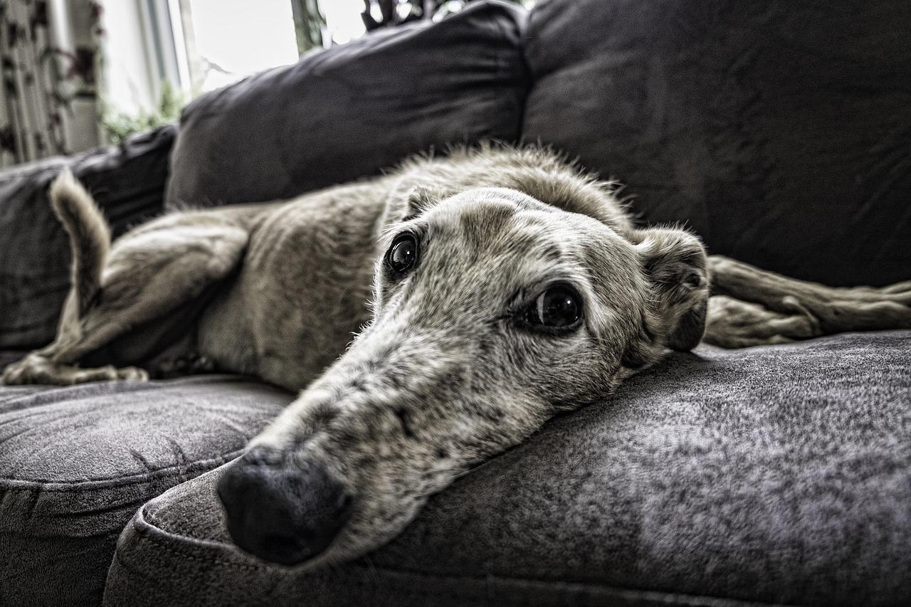 ソファーで寝る老犬