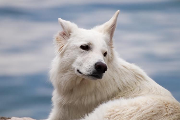 白い大きな犬