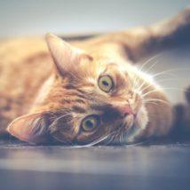 赤とらの猫