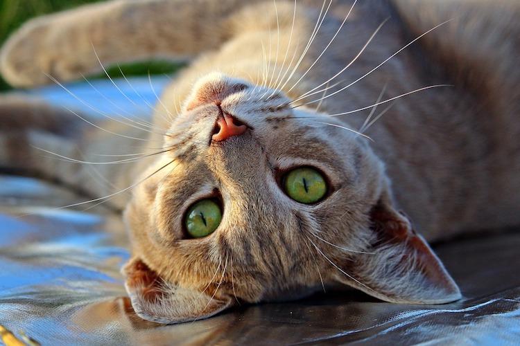赤茶のトラ猫