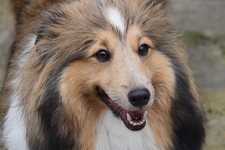 笑顔のコリー犬