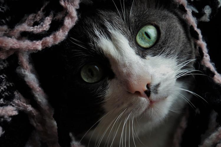 緑の目の猫