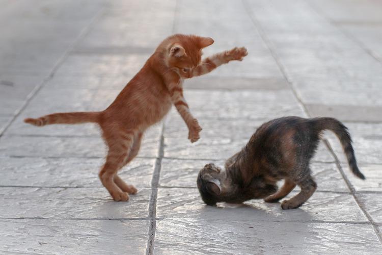 喧嘩する子猫